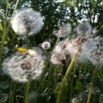 Dandilion At Home