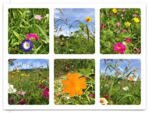 Sechs Blumenbilder einer Wildblumenwiese