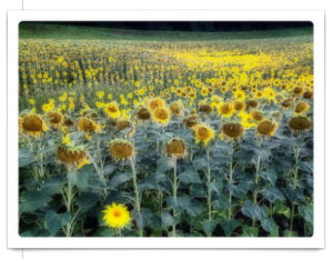Sonnenblumenfeld, leicht verschwommen