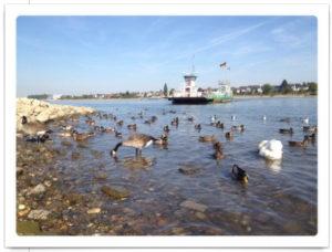 Rheinfähre legt an, im Vordergrund des froschperspektivischen Bilds Wasservögel auf dem Rhein.